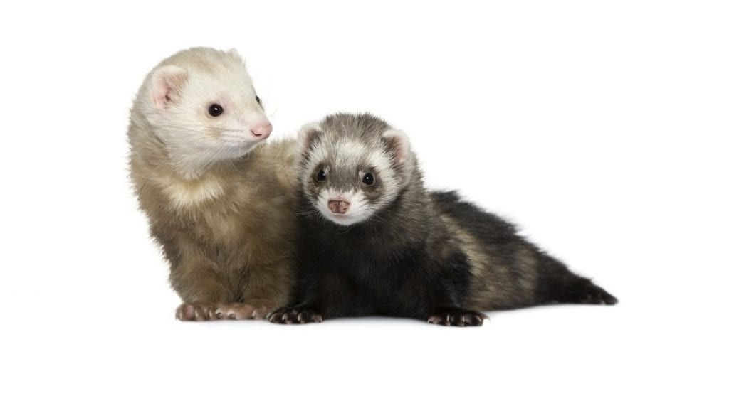 What to Expect From a Ferret Veterinary Examination