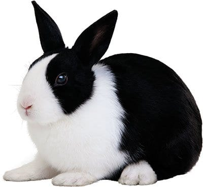 Converting Rabbits to Healthier Diet