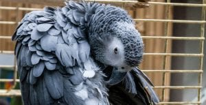 Parrot feather picking and overpreening