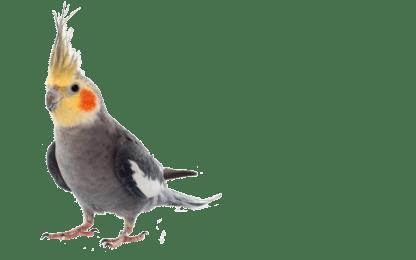 Best bird food for cockatiels