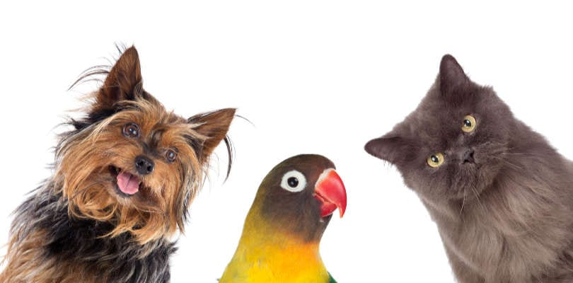Introducing pet bird to cats and dogs
