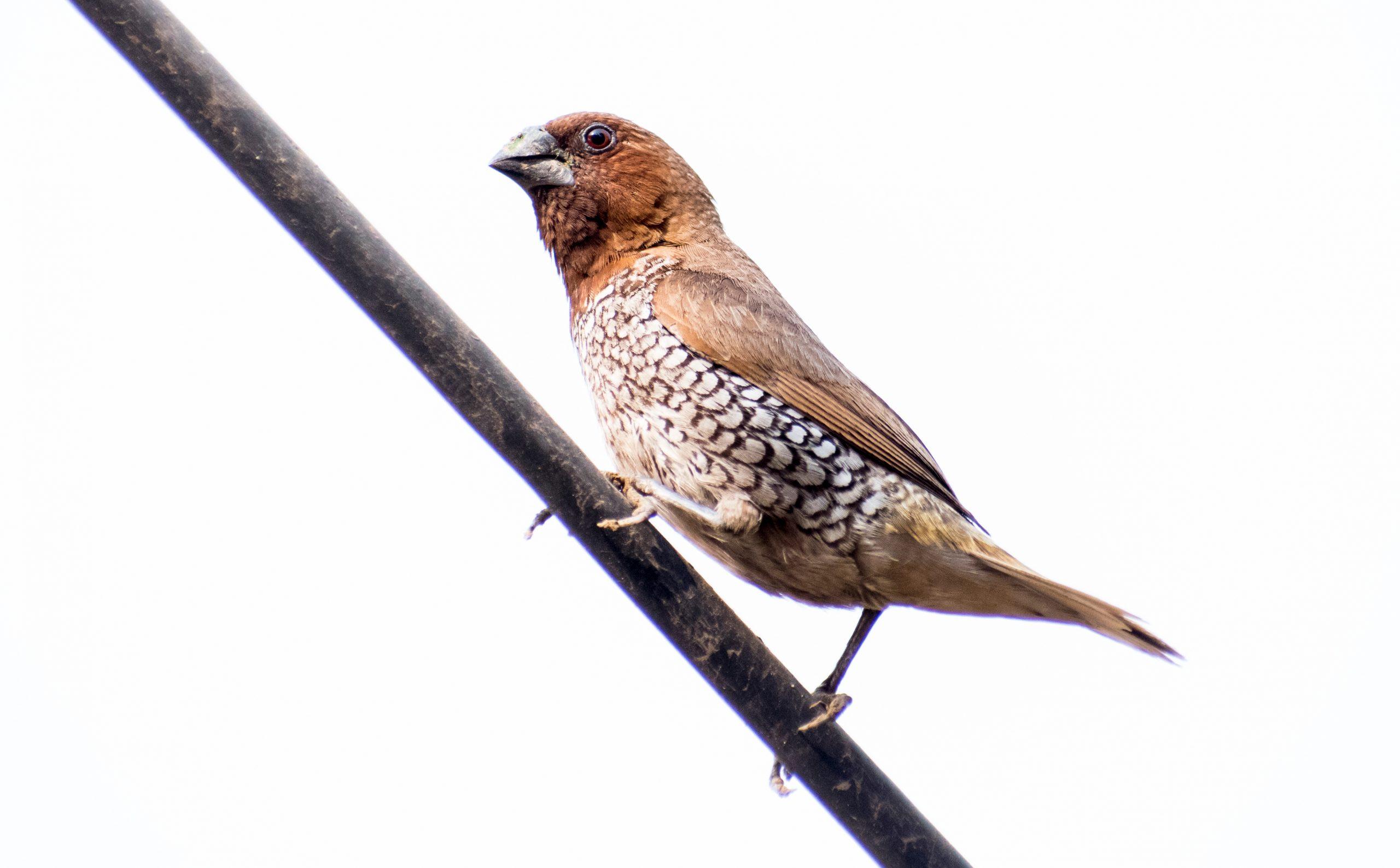 Spice Finch