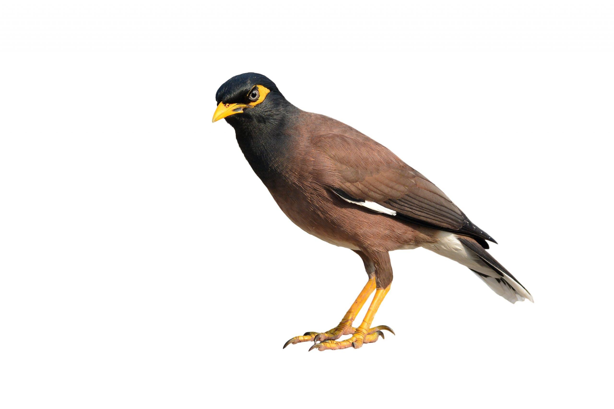 mynah-bird-care-and-feeding