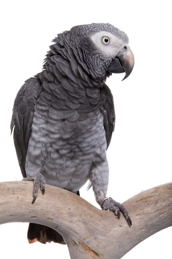The Intelligent African Gray Parrot