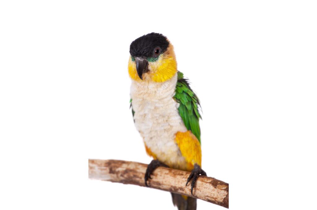 Do Caiques Make Good Pet Birds