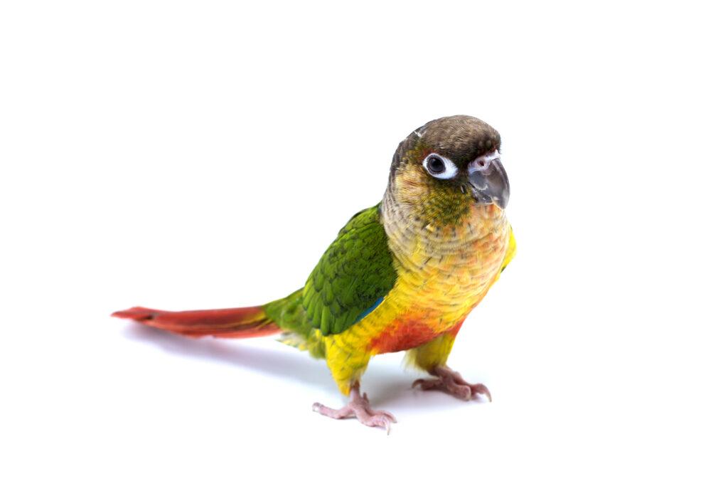 Do Conures Make Good Pet Birds