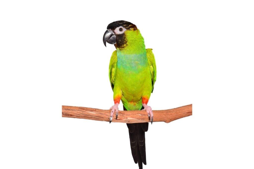 Do Parakeets Make Good Pets?