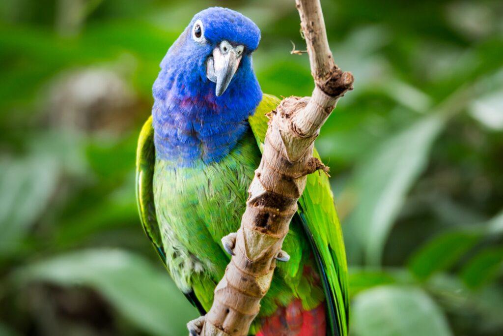 Do Pionus Parrot Make Good Pets